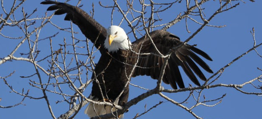 Officials say the 'strong return' of American bald eagles is a reminder of the powerful importance of federal conservation efforts and protections. (photo: Charlie Neibergal/AP)