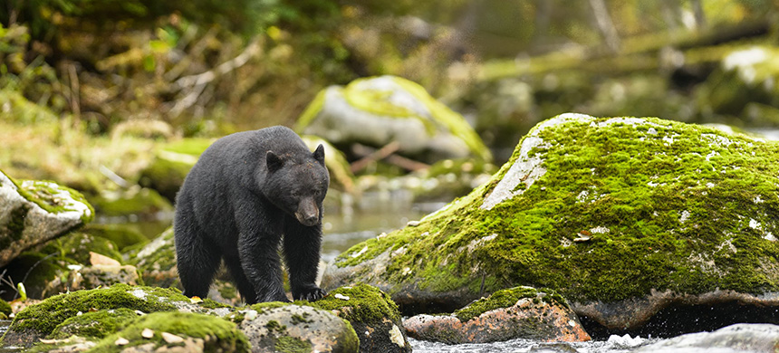 Black bear. (photo: NaturesMomentsuk/Shutterstock.com)