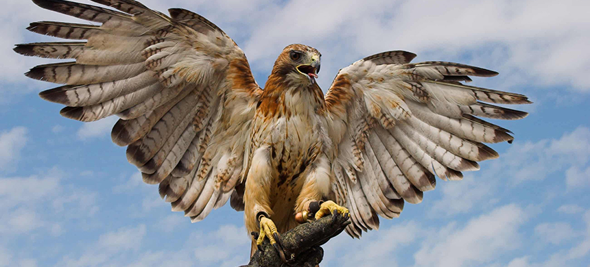 A red-tailed hawk. (photo: Alamy)
