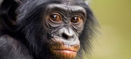 Francis Collins, director of the National Institutes of Health, which funds research on chimpanzees, is mandating the end of most research on chimps, 12/16/11. (photo: Scientific American)