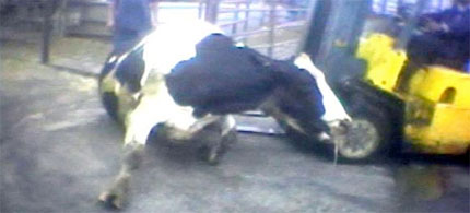 A Chino, Calif., slaughterhouse worker prods a downer cow with a forklift. Animal rights groups are under attack for using such images as part of their investigations into alleged animal abuse. (photo: AP/Humane Society of the United States)