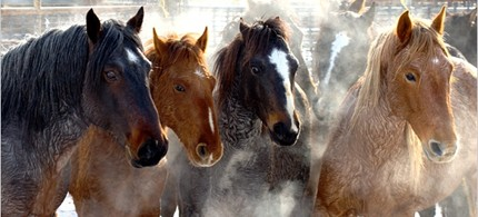 Wild horses, like these being 'gathered' near the Calico Mountains of Nevada, are periodically rounded-up by the Bureau of Land Management, 12/31/09. (Photo: Kurt Golgart/Bureau of Land Management)