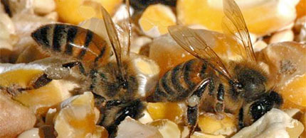 Honeybees gathering corn dust to take back to the hive. (photo: Hilton Pond Center)