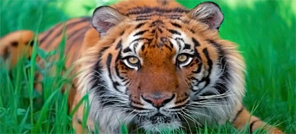 The Sumatran tiger has been classified as critically endangered by the International Union for Conservation of Nature. (photo: unknown)