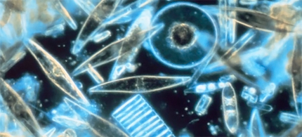 Diatoms are one of the most common types of phytoplankton. (photo: Bangor Daily News)