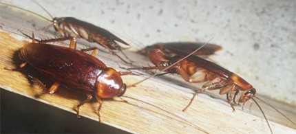 Naples's cockroach invasion started in early July with a massive hatch in the city's sewers, which hadn't been cleaned and disinfected in over a year because of maintenance budget cuts triggered by Italy's economic crisis. (photo: Ken Lucas/Visuals Unlimited/Getty Images)