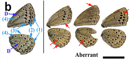 The Fukushima nuclear accident's radioactive fallout has caused abnormalities in the pale grass blue butterfly. (illustration: Scientific Reports)