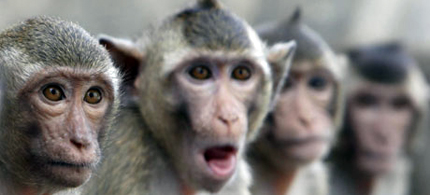 Hey, we're the monkeys: at least one macaque is on the loose in Tampa, Florida, where Republicans hold their convention next week. (photo: Chaiwat Subprasom/Reuters)