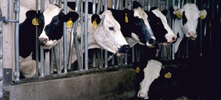 Factory dairy farms dominate the dairy industry. (photo: Independent UK)