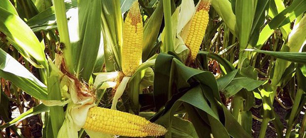 Controversy has erupted over new French scientific research claiming that genetically modified corn and the herbicide Roundup increases the chance of lab rats developing tumours and dying prematurely. (photo: Reuters)