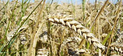 Scientists say new GMO wheat may 'silence' vital human genes. (photo: Bluemoose/Wikipedia)