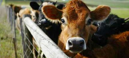Matt Bewig, AllGov : 'If cattle are getting sick because of fracking, what about the health of people who later drink their milk or eat their flesh?' (photo: Ark Animal Care)