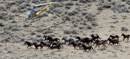 The Bureau of Land Management uses a helicopter to herd wild horses in Idaho. (photo: Darin Oswald/Idaho Statesman/AP)