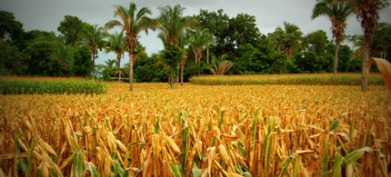 There is no shortage of corn in Guatemala, problem is the maize is being consumed by gas tanks in America instead of by people in Guatemala. (photo: Reuters)