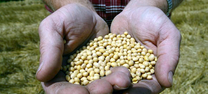 A farmer is seen holding Monsanto's Roundup Ready soybean seeds at his family farm in Bunceton, Mo.  (photo: Dan Gill/AP)