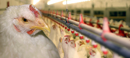 To fatten up chickens, arsenic is routinely added to chicken feed. (photo: Stock Image)