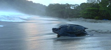 A leatherback turtle heads back into the ocean after burying her clutch of eggs in the sand at daybreak on a narrow strip of beach in Grande Riviere, Trinidad. (photo: AP/David McFadden)