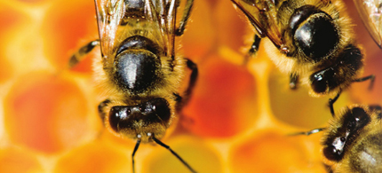 Honey bees at work. (photo: EcoWatch)