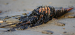 016634-lobster-oil-spill-052515.jpg