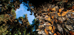 037655-monarch-butterflies-012520.jpg