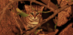 041579-rusty-spotted-cat-112320.jpg